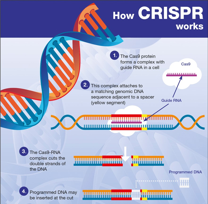 How CRISPR Works diagram as published in The Code Breaker by Walter Isaacson